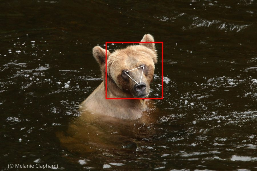 Foto de un oso pardo en el agua con un cuadrado alrededor de la cabeza y un triángulo desde los ojos hasta la nariz (© Melanie Clapham)