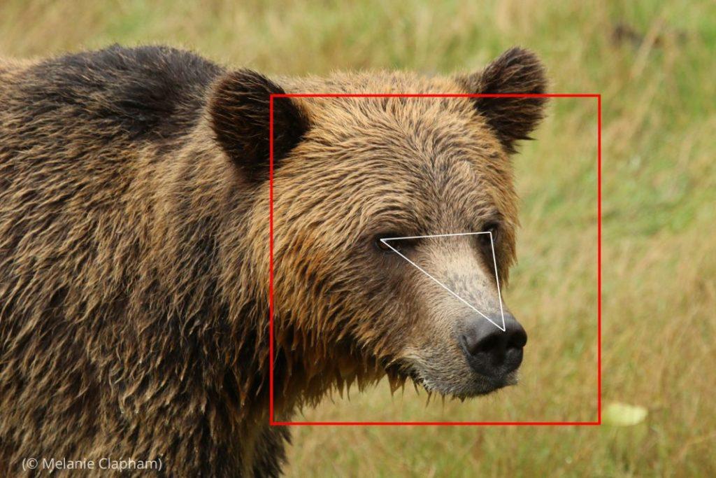 """El programa informático """"BearID"""" utiliza tecnología de reconocimiento facial para ayudar a los conservacionistas a reconocer rápidamente a osos pardos en imágenes de vídeo tomadas en la naturaleza. (© Melanie Clapham)"""