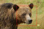 ¿Reconocería el rostro de este oso?