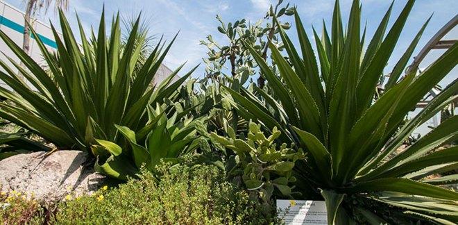 centuryplant