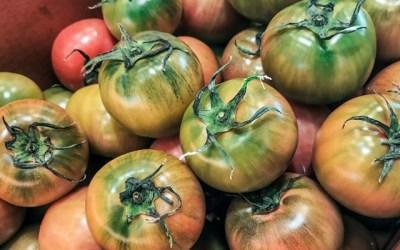 [과일 칼럼] 고난 끝의 결과, 대저 토마토