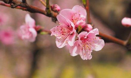 봄인데 아쉬우니까, 집에서 꽃놀이 즐기는 방법