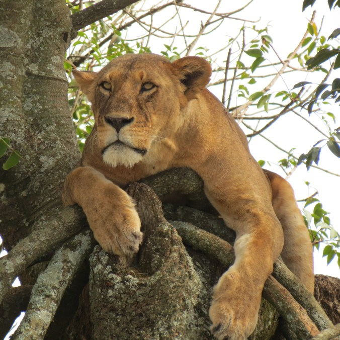 there really are a lot of lions in Kenya, though most don't sit in trees