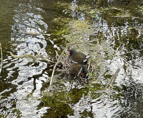 The ducks nest on the Wendover loop trail.