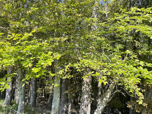 Beech trees at Penn Hill on the Loop walk on the South Down Way