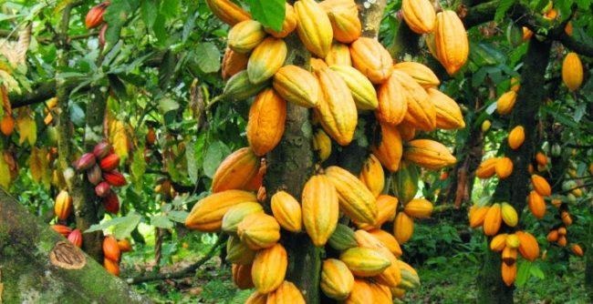 Cara Memelihara Tanaman Kakao atau Coklat