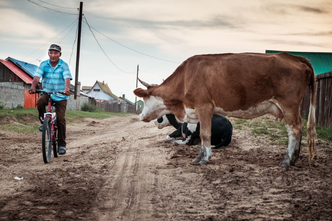 Man bicycling past cows on a road in Sukhbaatar, Mongolia