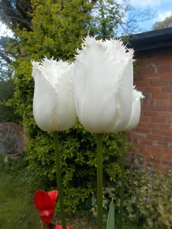 Our fab White Parrot Tulips in our big urn.