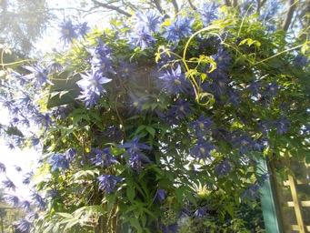 Beautiful blue Clematis.