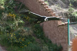 condor in flight