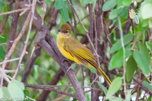 Yellow fronted bulbul
