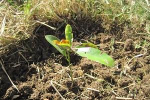 magnolia-seedling