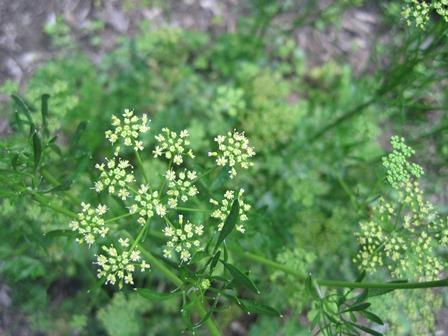 Second year parsley