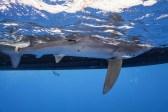 Blue shark off Cat Island, Bahamas. Photo courtesy of Andy Mann.