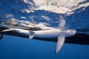 Blue shark. Photo credit: Andy Mann.