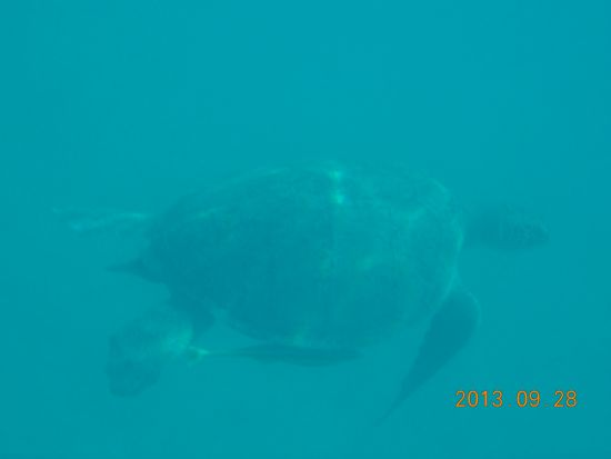 Loggerhead Turtle with fish by it's side