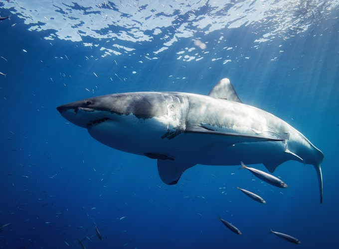 ホホジロザメ(ホオジロザメ)の大きさ、寿命、危険性、最大記録