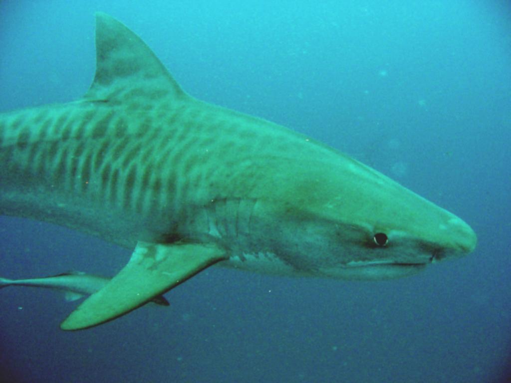 Jersey Shore Sharks
