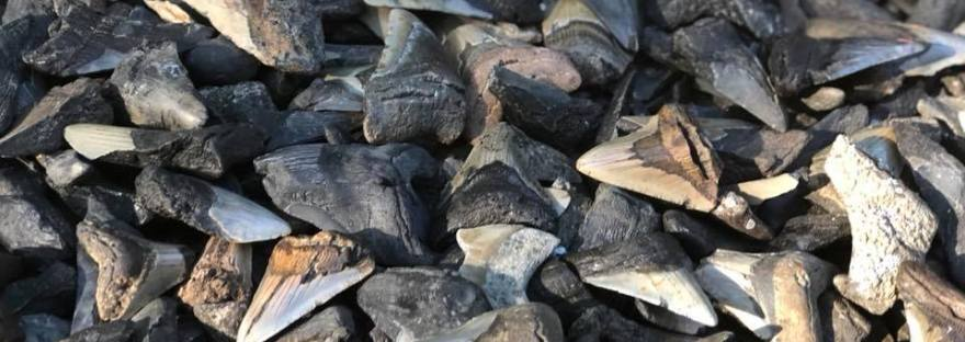 Over a 100 Megalodon sharks teeth piled on each other.
