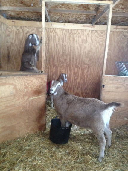 Clover, Barley, and Dulcinea.