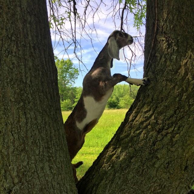 Harriet in the oak tree