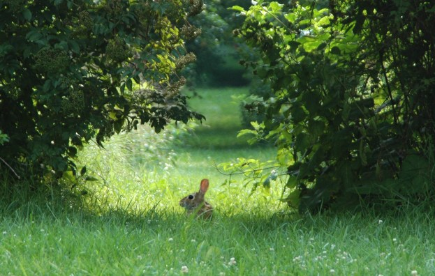 Bunnies were all over my path this morning!