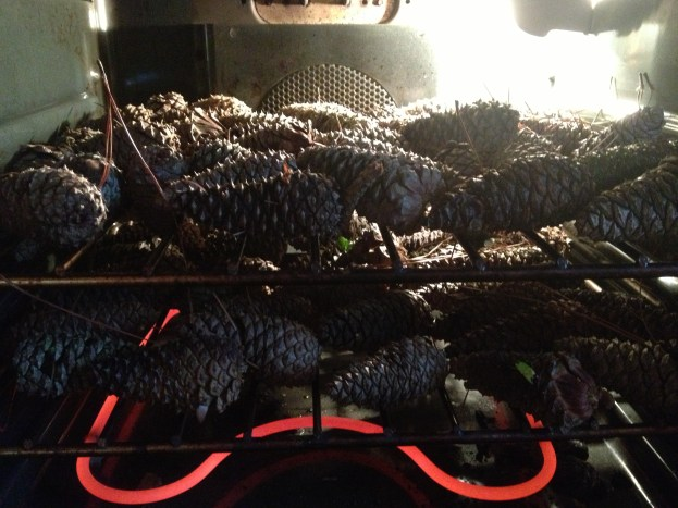 Closed pinecones- put in 200 degree oven until they fully open- couple of hours or more