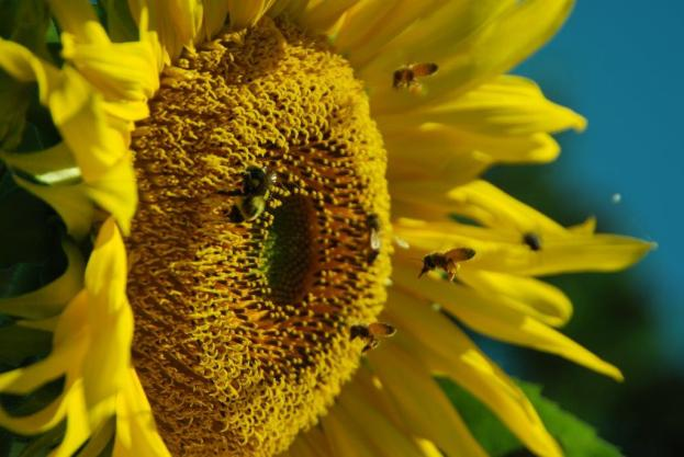Sunflower_bees_insects_Hartwood_VA_9412_DGa2591
