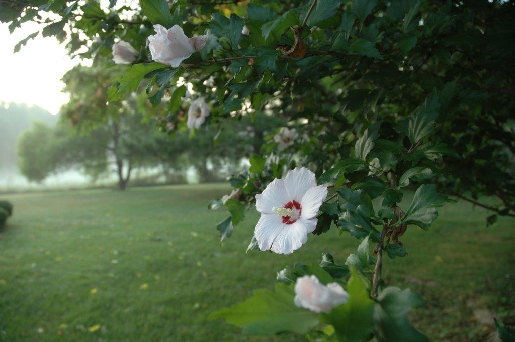 we have white pink and purple rose of sharon bushes