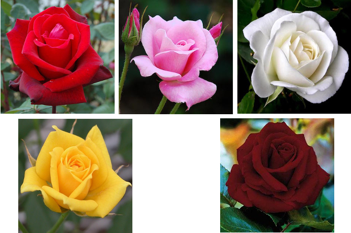 roses-group