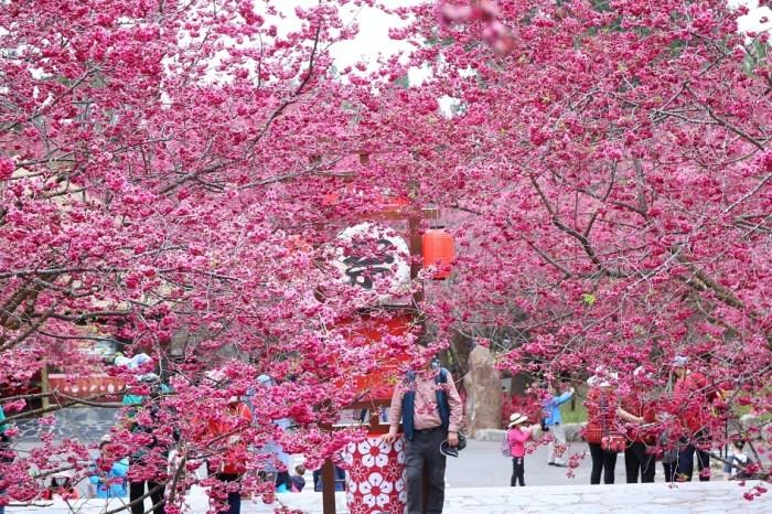 中部賞櫻點 九族文化村五千棵櫻花齊盛開 八重櫻、富士櫻、吉野櫻爆炸美