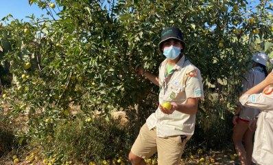 צופי הרצליה מתנדבים במטע תפוחים בדרום
