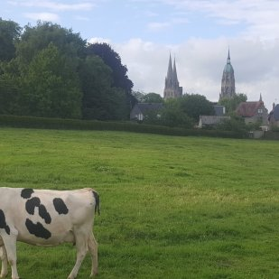 Normandy Cows and Bayeux Cathedral -on the walk to the hotel