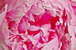peonie flower 2 crop sm