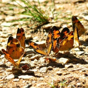In the Smoky Mountains, we rounded the corner and found butterflies puddling (without the puddle). The party held their attention more than concern for the humans hiking through.