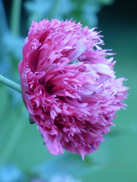 large pink double poppy