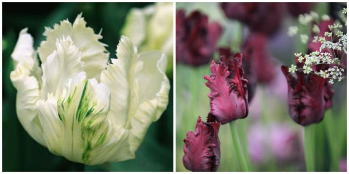 black and white parrot tulips