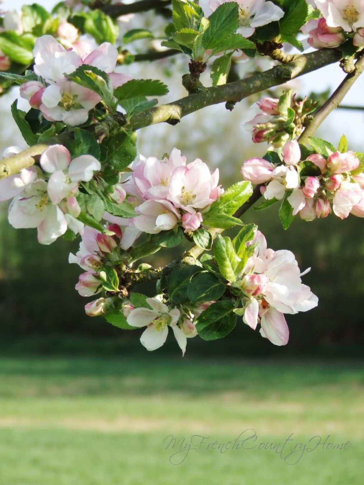 apple blossom in normandy