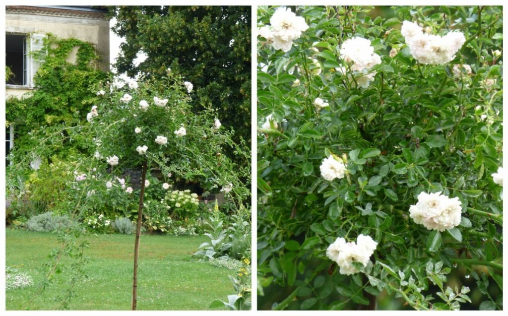 white dorothy rose, my french country home