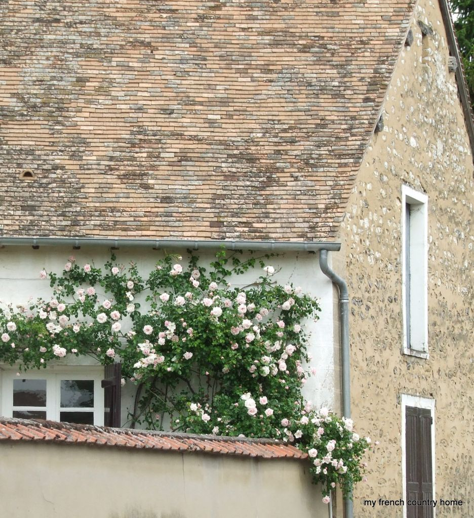 rose climbing over wall