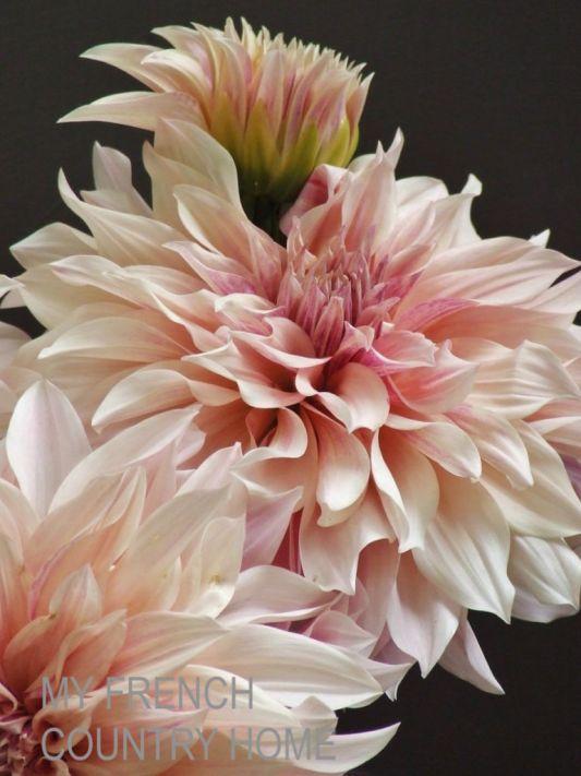 pink blush dahlias