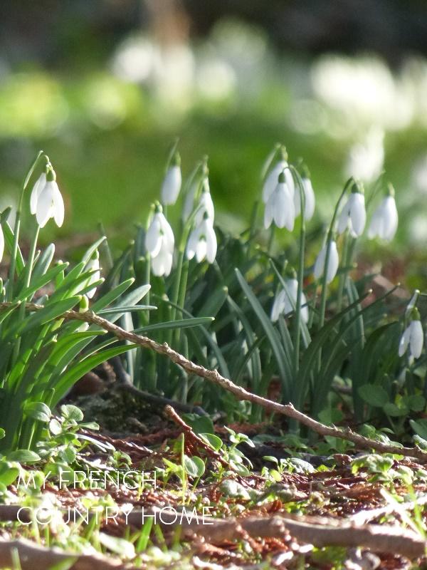 snowdrops in the garden