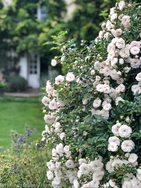 Roses in the garden- My Garden Parterres- MY FRENCH COUNTRY HOME