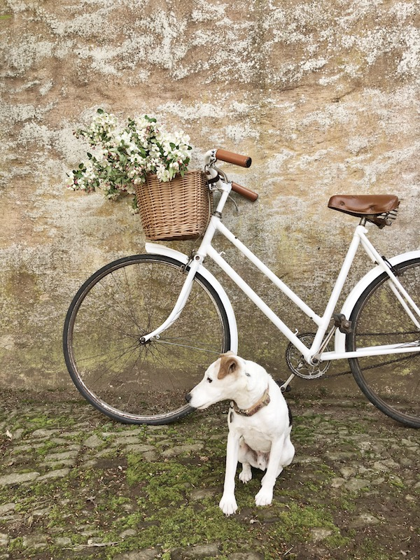 jack russel terrier sitting in front of a bike and tan wall