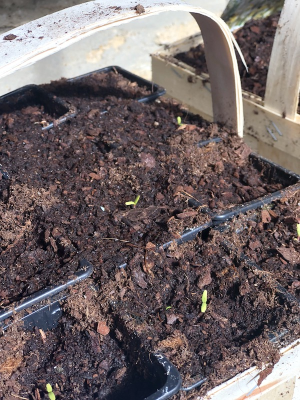 seedlings in a spring garden at My French Country Home by Sharon Santoni