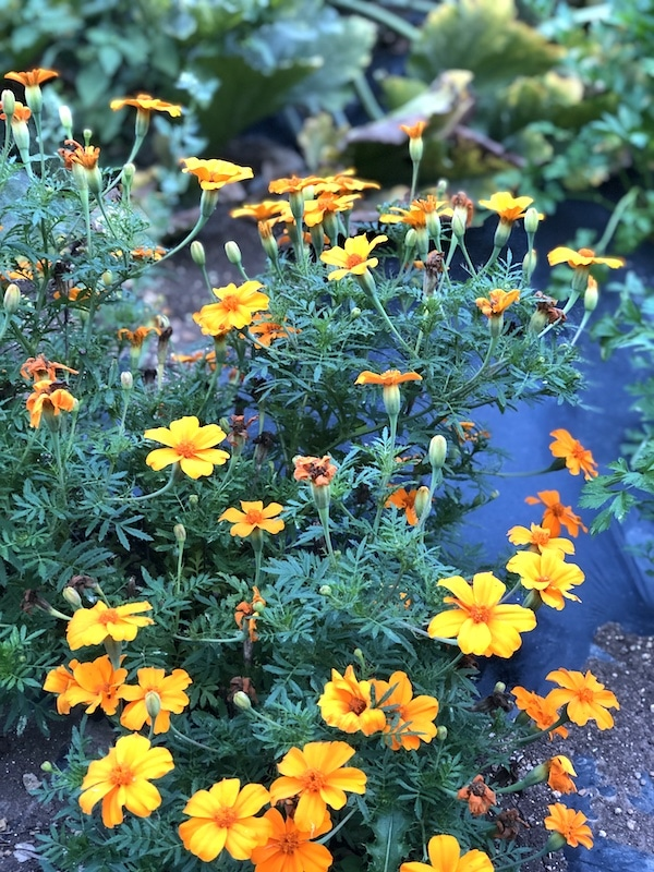 companion planting in the potager