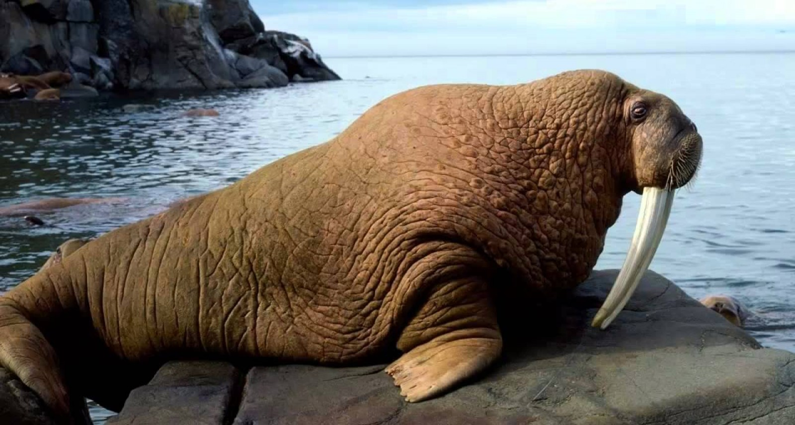 It S Friday Enjoy This Live Streaming Walrus Cam