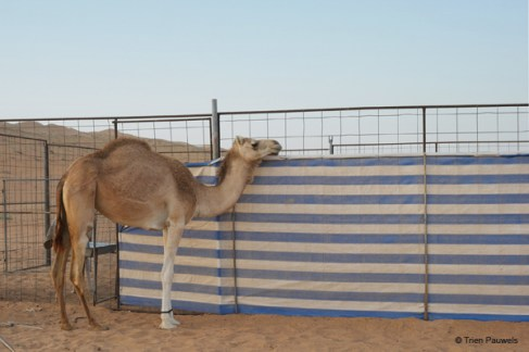 Our beauties, our male and our fastest camels need extra care and are encaged, others can walk around. Some with rope attached to their front legs, some just free, depending on the camels situation