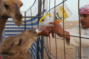 You also want to give some milk to this baby camel? If we have some young ones around, their all yours