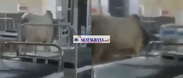 cow enters Hospital